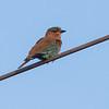 Bengalråke / Indian Roller <br /> Sohar, Oman 22.11.2010<br /> Canon EOS 50D + EF 400 mm 5.6 L