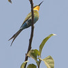 Svalebieter / Swallow-tailed Bee-eater<br /> Abuko, Gambia 5.2.2016<br /> Canon 7D Mark II + Tamron 150 - 600 mm 5,0 - 6,3