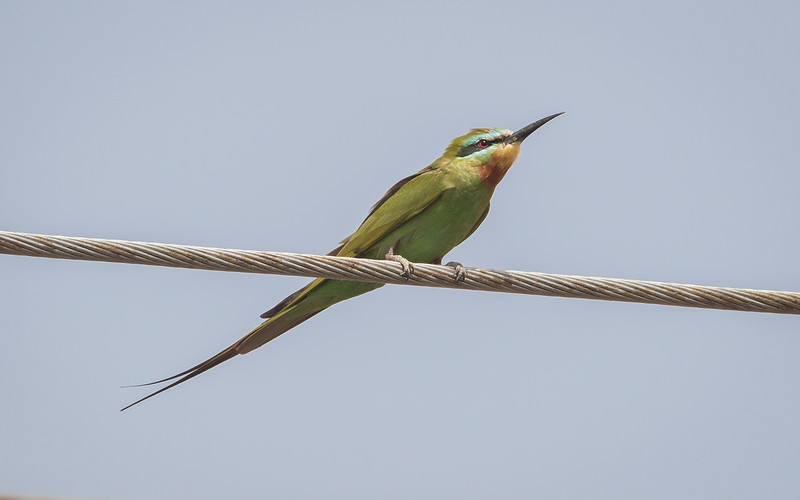 Blåkinnbieter / Blue-cheeked Bee-eater<br /> Kerr Sulay, Gambia 1.2.2016<br /> Canon 7D Mark II + Tamron 150 - 600 mm 5,0 - 6,3