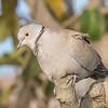 Tyrkerdue / Eurasian Collared-Dove <br /> Gran Canaria, Spania 26.12.2014<br /> Canon 7D Mark II + Tamron 159 - 600 mm @ 375 mm