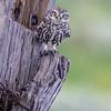 Kirkeugle / Little Owl<br /> Barbate, Spania 21.3.2019<br /> Canon  5D Mark IV + EF 500mm f/4L IS II USM + 1.4x Extender