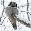 Haukugle / Hawk Owl<br /> Linnesstranda, Lier 16.1.2016<br /> Canon 7D Mark II + Tamron 150 - 600 mm 5,0 - 6,3