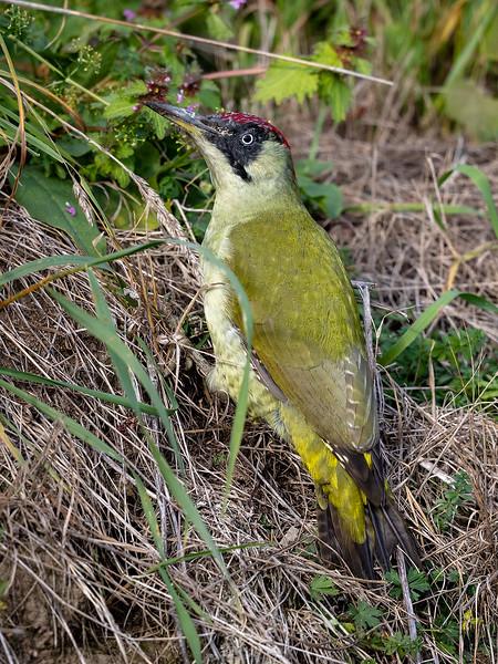 Grønnspett / Green Woodpecker<br /> Bergsvingen, Øvre Eiker 21.102018<br /> Canon 5D Mark IV + EF 500mm f/4L IS II USM + 1.4x Ext