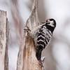 Dvergspett / Lesser Spotted Woodpecker<br /> Linnesstranda, Lier 22.3.2009<br /> Canon EOS 50D + EF 400 mm 5,6 L