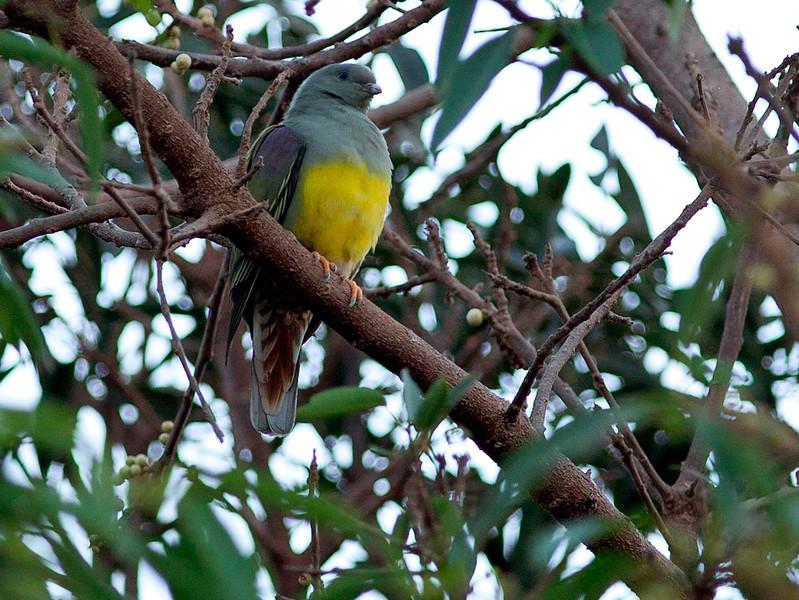 Gulbukgrønndue / Bruce's Green Pigeon <br /> Wadi Darbat, Oman 01.12.2010<br /> Canon EOS 50D + EF 400 mm 5.6 L