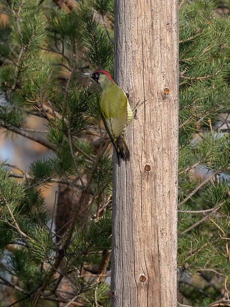 Grønnspett / Green Woodpecker<br /> Bergsvingen, Øvre Eiker 21.102018<br /> Canon 5D Mark IV + EF 500mm f/4L IS II USM + 1.4x Ext