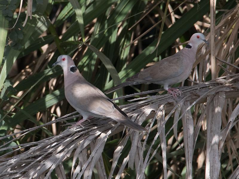 Klagedue / African Mourning Dove<br /> Kuntaur - Jajanbureh, Gambia 2.2.2016<br /> Canon 7D Mark II + Tamron 150-600 mm 5,0-6.3