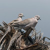 Tyrkerdue / Eurasian Collared-Dove <br /> Tenerife, Spania 22.2.2005<br /> Canon EOS 20D + EF 200 mm 2,8 L + Extender 1,4 x
