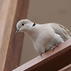 Tyrkerdue / Eurasian Collared-Dove <br /> Tenerife, Spania 26.2.2005<br /> Canon EOS 20D + EF 200 mm 2,8 L + Extender 1,4 x