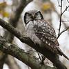 Haukugle / Hawk Owl<br /> Fiskumvannet, Øvre Eiker 16.10.2016<br /> Canon 7D Mark II + Tamron 150 - 600 mm 5,0 - 6,3