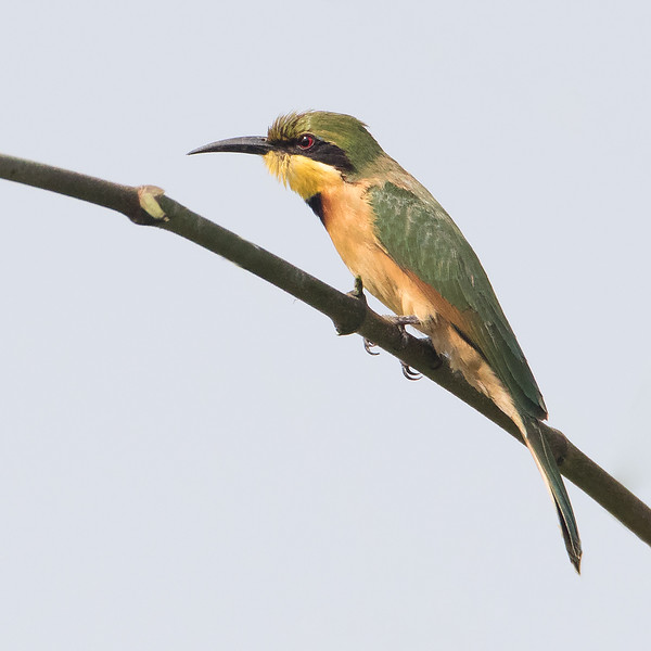 Dvergbieter / Little Bee-Eater<br /> Abuko, Gambia 5.2.2016<br /> Canon 7D Mark II + Tamron 150 - 600 mm 5,0 - 6,3