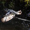 Terneisfugl / PIed Kingfisher<br /> Tendaba, Gambia 4.2.2016<br /> Canon 7D Mark II + Tamron 150 - 600 mm 5,0 - 6,3