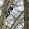 Hvitryggspett / White-backed Woodpecker<br /> Linnesstranda, Lier 25.2.2018<br /> Canon 7D Mark II + Tamron 150 - 600 mm G2