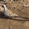 Maskedue / Namaqua Dove <br /> Wassu, Gambia 1.2.2016<br /> Canon 7D Mark II + Tamron 150 - 600 mm 5,0 - 6,3
