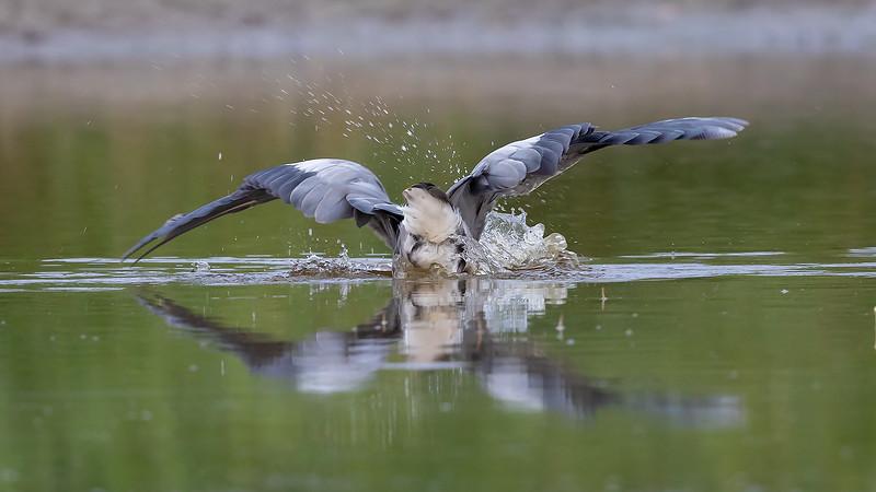 Gråhegre / Grey Heron<br /> Amager; Kjøbenhavn, Danmark 22.7.2018<br /> Canon 5D Mark IV + EF 500mm f/4L IS II USM + 1.4x Ext