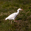 Kuhegre / Cattle Egret