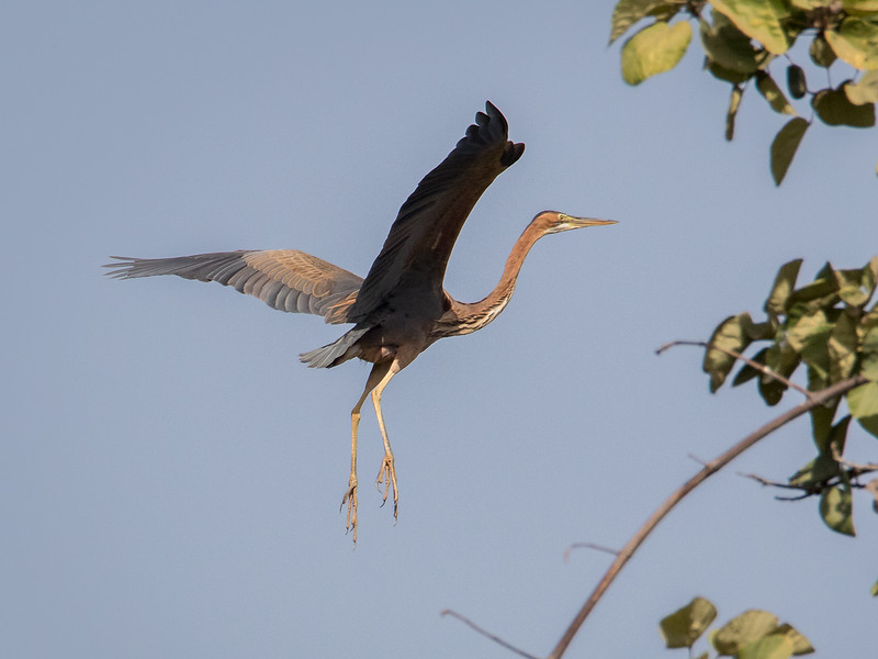 Purpurhegre / Purple Heron<br /> Kuntaur - Jajanbureh, Gambia 2.2.2016<br /> Canon 7D Mark II + Tamron 150 - 600 mm 5,0 - 6,3