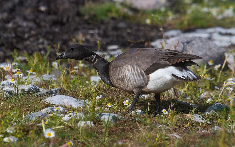 Ringgås / Brent Goose<br /> Sebybadet, Øland 24.7.2013<br /> Canon EOS 7D + EF 100-400 mm 4,5-5,6 L