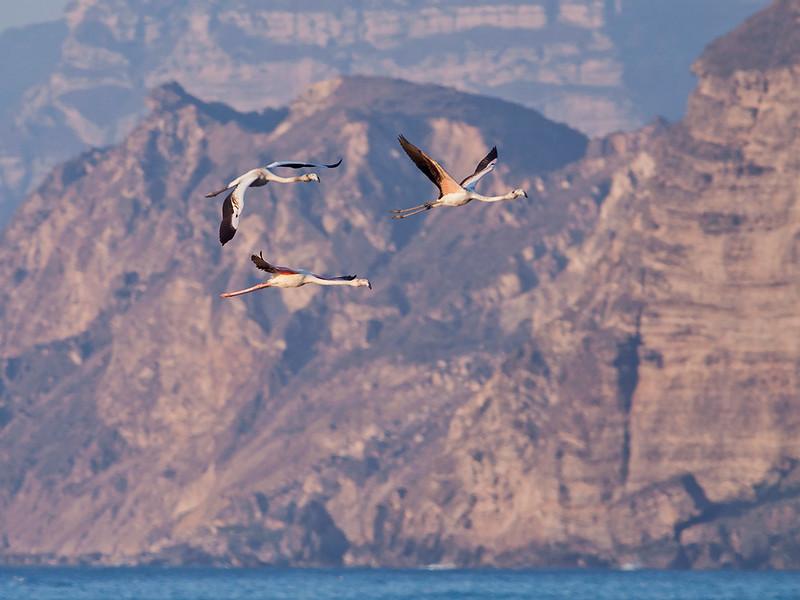 Flamingo / Greater Flamingo <br /> Al Mugsayl, Oman 2.12.2010<br /> Canon EOS 50D + EF 400 mm 5,6 L