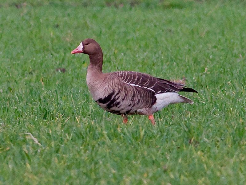 Tundragås / White-fronted Goose<br /> Vombs engar, Skåne, Sverige 24.5.2009<br /> Canon EOS 50D + EF 400 mm 5.6 L