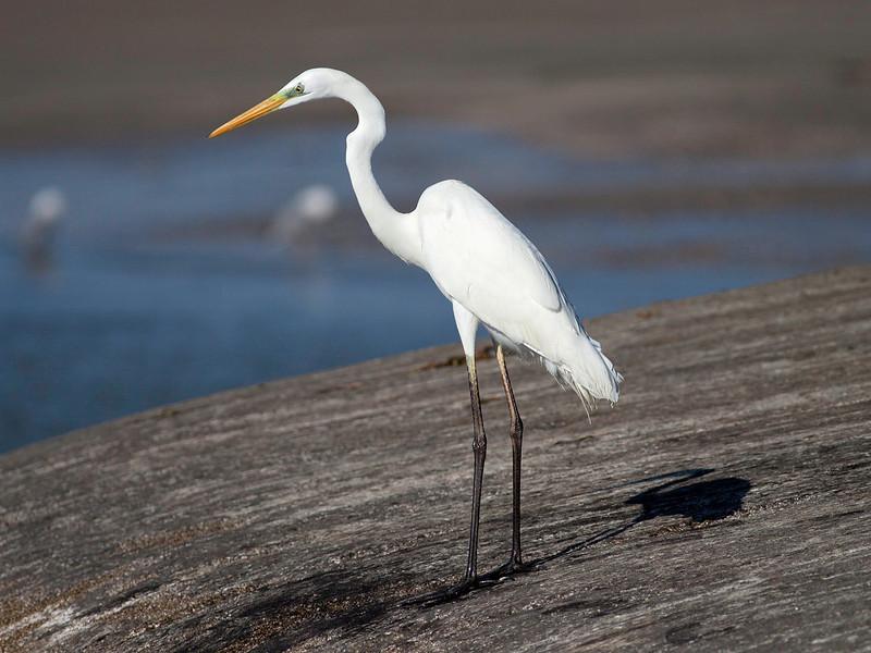 Egretthegre / Great Egret<br /> Shannah, Oman 27.11.2010<br /> Canon EOS 50D + EF 400 mm 5.6 L