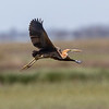 Purpurhegre / Purple Heron