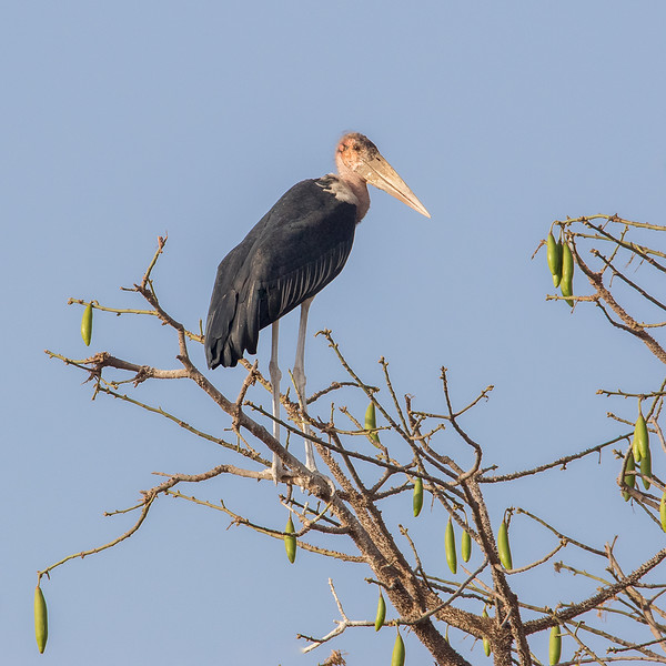 Marabustork / Marabou Stork<br /> Jajanbureh-Tendaba, Gambia 3.2.2016<br /> Canon 7D Mark II + Tamron 150-600 mm 5,0-6.3