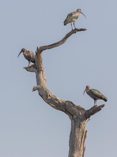 Hadadaibis / Hadada Ibis<br /> Kuntaur - Jajanbureh, Gambia 2.2.2016<br /> Canon 7D Mark II + Tamron 150-600 mm 5,0-6.3