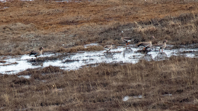 Dverggås / Lesser White-fronted Goose<br /> Valdakmyra, Finnmark 21.5.2017<br /> Canon 7D Mark II + Tamron 150 - 600 mm 5,0 - 6,3 G2