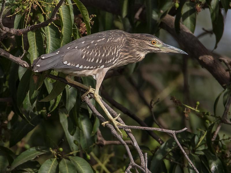 Natthegre / Black-crowned Night Heron<br /> Kuntaur - Jajanbureh, Gambia 2.2.2016<br /> Canon 7D Mark II + Tamron 150-600 mm 5,0-6.3