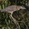Natthegre / Black-crowned Night Heron<br /> Kuntaur - Jajanbureh, Gambia 2.2.2016<br /> Canon 7D Mark II + Tamron 150-600 mm 5,0-6.3