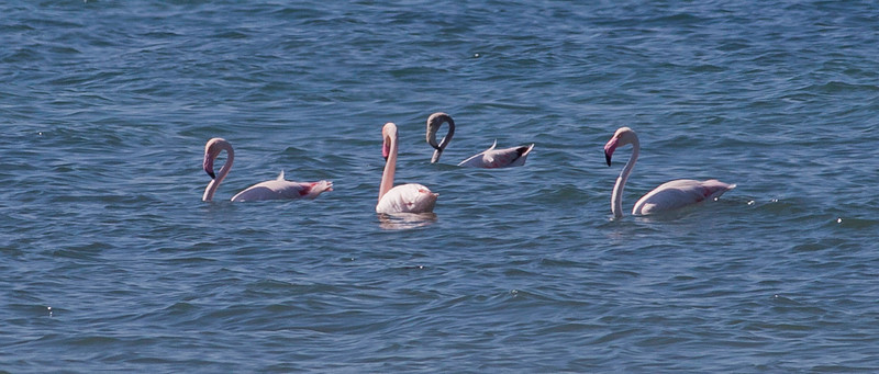 Flamingo / Greater Flamingo <br /> Masirah, Oman 27.11.2010<br /> Canon EOS 50D + EF 400 mm 5,6 L
