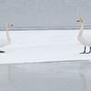 Sangsvane / Whooper Swan<br /> Linnesstranda, Lier 5.3.2017<br /> Canon 7D Mark II + Tamron 150 - 600 mm 5,0 - 6,3 G2 @ 400 mm
