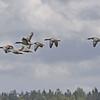 Grågås / Greylag Goose<br /> Tåkern, Sweden 25.5.2006<br /> Canon EOS 20D + EF 400 mm 5.6 L