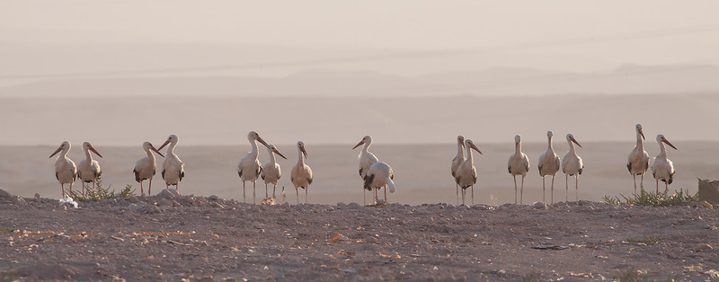 Stork / White Stork<br /> Salalah, Oman 02.12.2010<br /> Canon EOS 50D + EF 400 mm 5.6 L