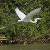 Egretthegre / Great Egret<br /> Kuntaur-Jajanbureh, Gambia 2.2.2016<br /> Canon 7D Mark II + Tamron 150-600 mm 5,0-6.3