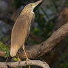 Topphegre / Squacco Heron<br /> Kuntaur - Jajanbureh, Gambia 2.2.2016<br /> Canon 7D Mark II + Tamron 150-600 mm 5,0-6.3