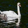 Knoppsvane / Mute Swan<br /> Østensjøvannet, Oslo 27.5.2012<br /> Canon EOS 7D + EF 100-400 mm 4,5-5,6 L