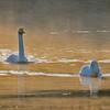 Sangsvane / Whooper Swan<br /> Vestfossen, Øvre Eiker 25.1.2015<br /> Canon 7D Mark II + Tamron 150 - 600 mm 5,0 - 6,3