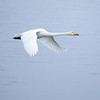 Sangsvane / Whooper Swan<br /> Linnesstranda, Lier 1.1.2021<br /> Canon  5D Mark IV + EF 500mm f/4L IS II USM