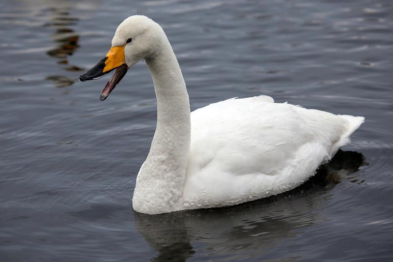Sangsvane / Whooper Swan<br /> Vestfossen, Øvre Eiker 3.2.2013<br /> Canon EOS 5D Mark II + EF 100-400 mm 4,5-5,6 L