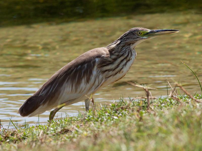 Topphegre / Squacco Heron<br /> Khawr Taqah, Oman 30.11.2010<br /> Canon EOS 50D + EF 400 mm 5.6 L
