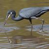 Strandhegre / Western Reef Heron<br /> Tendaba - Bijilo, Gambia 4.2.2016<br /> Canon 7D Mark II + Tamron 150 - 600 mm 5,0 - 6,3