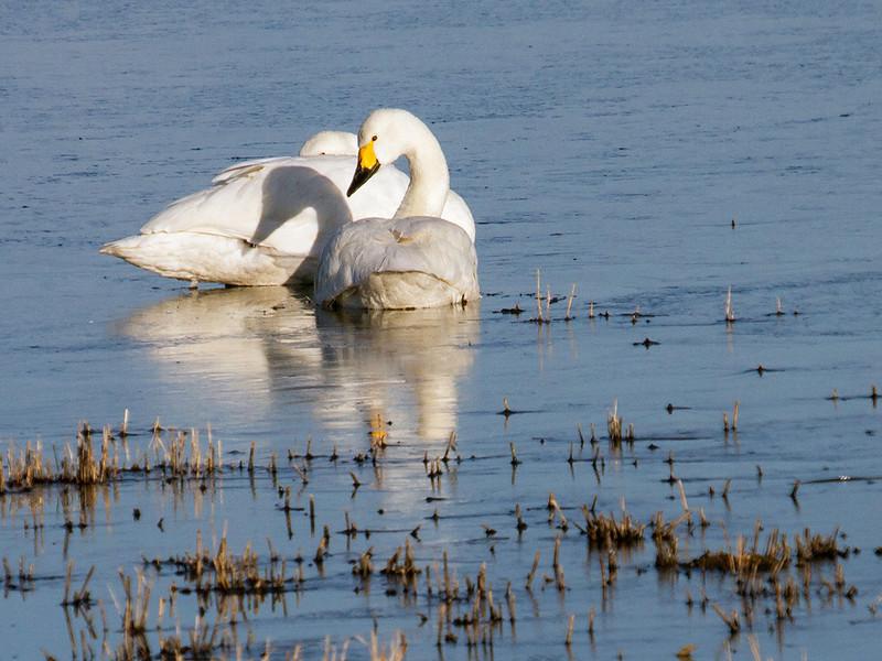 Dvergsvane / Tundra Swan<br /> Limfjorden, Danmark 31.3.2013<br /> Canon EOS 7D + EF 100-400 mm 4,5-5,6 L
