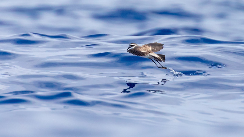 Fregattstormsvale / White-face Storm Petrel<br /> Madeira, Portugal 2.7.2018<br /> Canon 5D Mark IV + EF 100-400mm f/4.5-5.6L IS II USM + 1.4x Ext