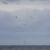 Havsule / Northern Gannet<br /> Hou havn, Danmark 9.4.2014<br /> Canon EOS 7D + EF 100-400 mm 4,5-5,6 L