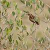 Stentorsanger / Clamorous Reed Warbler <br /> Al Mughsayl, Oman 02.12.2010<br /> Canon EOS 50D + EF 400 mm 5.6 L