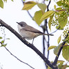 Møller / Lesser Whitethroat <br /> Linnesstranda, Lier 13.5.2021<br /> Canon EOS R5 + EF 500mm f/4L IS II USM + 1.4x Ext III