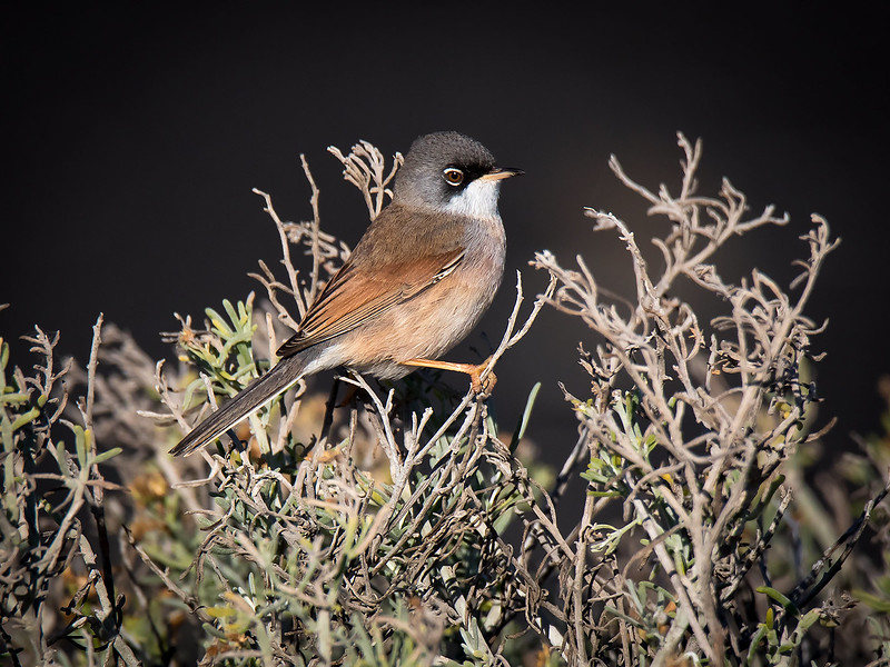 Maskesanger / Spectacled warbler<br /> La Palma, Spania 27.12.2017<br /> Canon 7D Mark II + Tamron 150 - 600 mm 5,0  - 6,3 G2