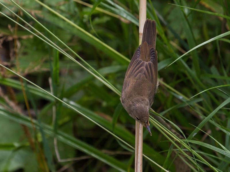 Rørsanger / Eurasian Reed-Warbler <br /> Linnesstranda, Lier 1.9.2013<br /> Canon EOS 7D + EF 100-400 mm 4,5-5,6 L